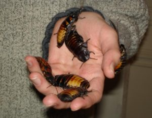 Madagascan hissing cockroaches are kept as pets