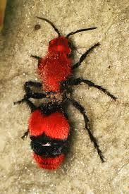 Rare 'velvet ant' spotted in Liverpool