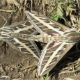 Confusing sexual activity in moths…
