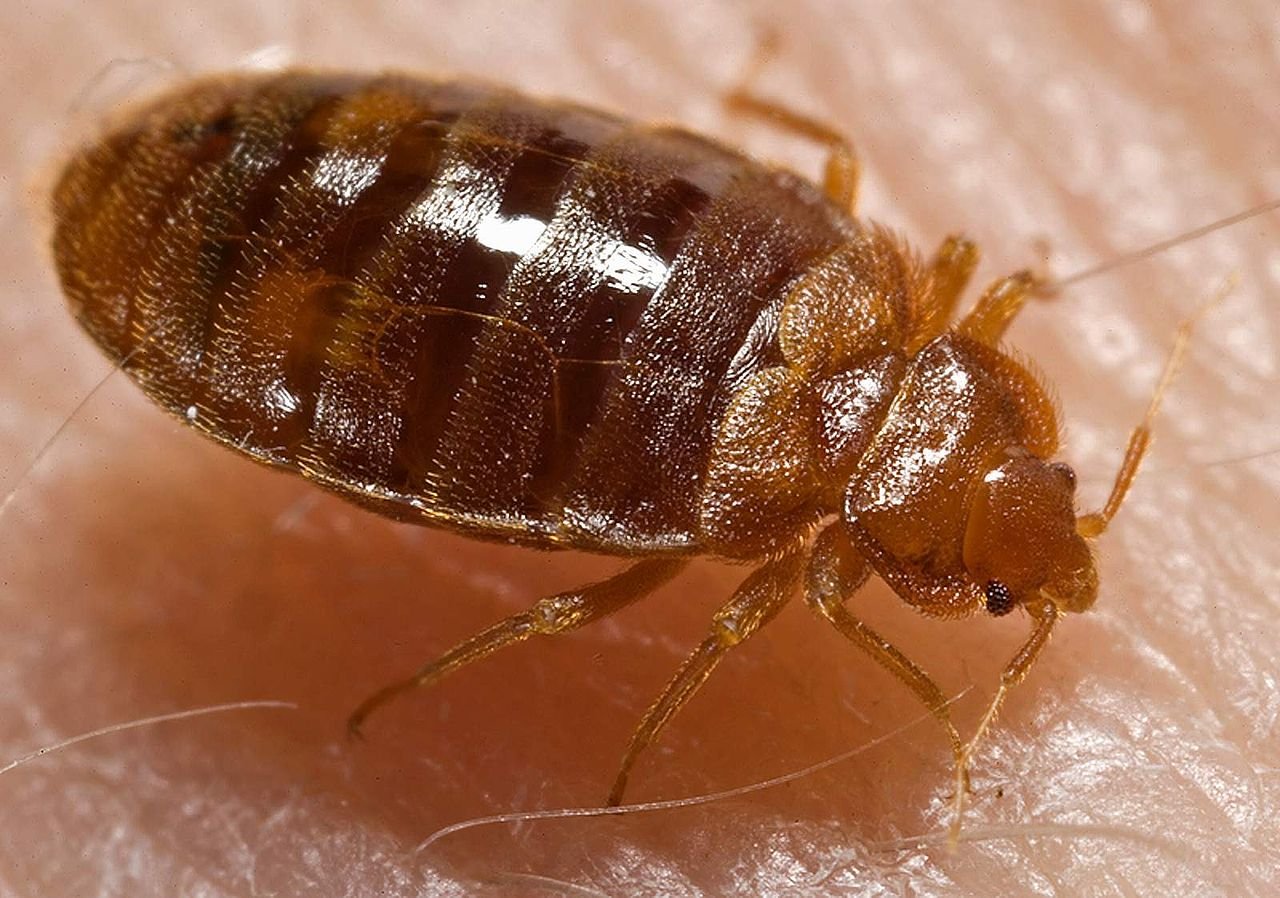 Bed bugs that are allowed to feed far more likely to survive insecticide treatment
