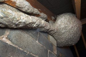 The giatn wasp nest found by Gary Wilkinson of Pest control specialists Pest Professionals (www.pestprofessionals.co.uk ) exhibited a really rare tunnel structure