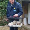 Pest Controller captures wild skunk in Surrey